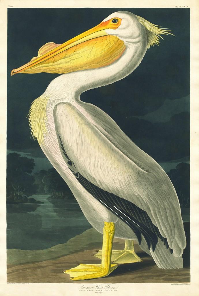 Robert Havell Pelícano blanco americano 1836 Aguafuerte y aguatinta, coloreado a mano.
